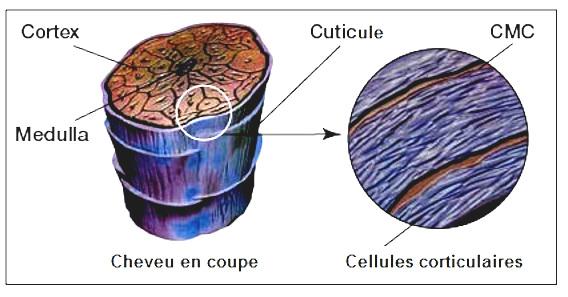 medulla-cheveux-arsenic-napoleon